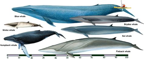 What Is The Biggest Animal After The Blue Whale?