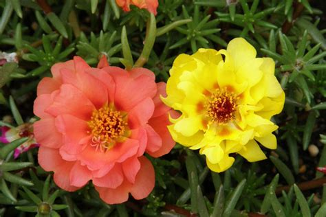 moss roses publish with glogster