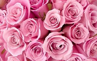 Flowers Pink Rose Roses Flower Wallpapers Fanpop