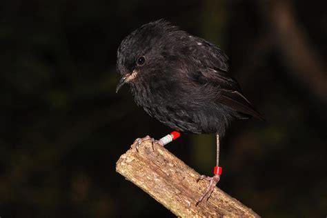 black robin  zealand birds