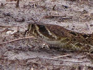 Eastern Diamondback Rattlesnake head | Flickr - Photo Sharing!