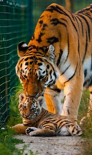 31 best TIGERS images on Pinterest | Wild animals, Animal ...