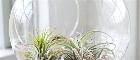 pflanzen ohne wurzeln pflanzen ohne erde das geheimnis hinter luftpflanzen und