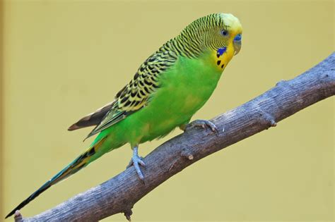 budgie bird exotic bird spotted at sdu sdu birds
