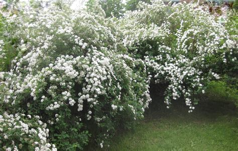 Here Comes The Bridal Wreath Spirea Vanhouttei