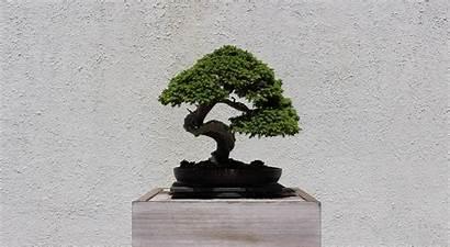 Bonsai Tree Arboretum National 4k Wallpapers 1600