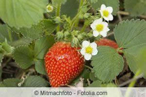 Erdbeeren Pflegen Schneiden : erdbeeren ableger kleinegarten 11 erdbeeren bilden im ~ Lizthompson.info Haus und Dekorationen
