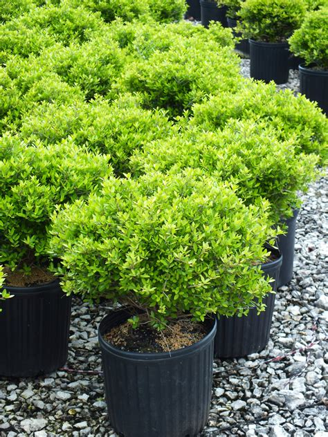 inspirations ilex vomitoria nana   green garden