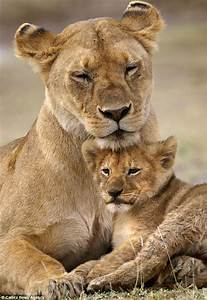 Lion cub peers out from between his mother's legs while ...