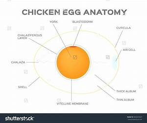 Diagram  Eye Diagram Of Chicken