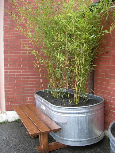 bamboo the best containers to grow bamboo in