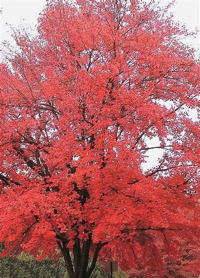 Maple Tree Tatarian Trees Lilac Japanese Shelterbelt