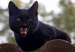 Dental Distinction  How Many Teeth Do Cats Have