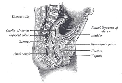 ligament  uterus wikipedia