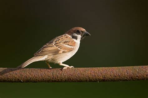 english sparrow stock  pictures royalty