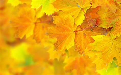 Fall Backgrounds Yellow by Autumn Yellow Big Leaves Wallpaper Baltana