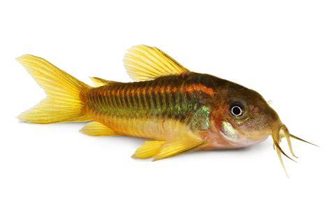 cory catfish species   aquarium tank