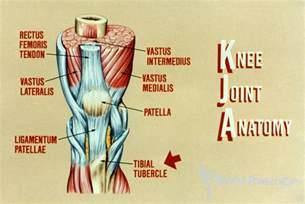 Knee Joint Anatomy Illustration
