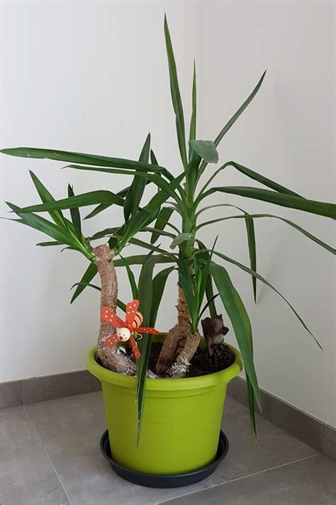yucca palme vermehren yucca palme vermehren aus eins mach drei so einfach