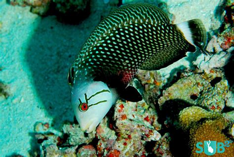 rockmover  dragon wrasse marine life facts