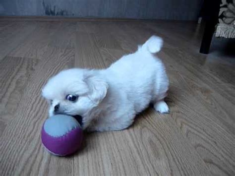 white pekingese puppy playing super cute youtube