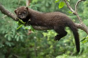 fisher cats wildlife photography fisher cat images