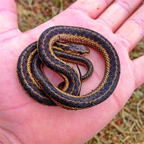how to get rid of garden snakes how to get rid of garter snakes