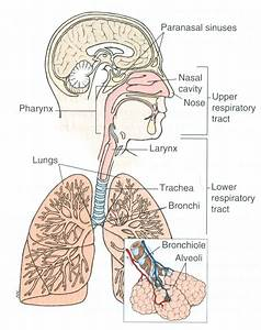 Respiratory System Video Clips