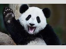 Oneyearold female giant panda cub Nuan Nuan appears to