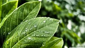 Download Green Leaves With Water Drops Wallpaper 1920x1080 ...