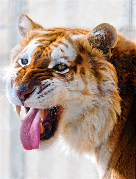 Golden Tigers Wallpapers High Quality Download Free