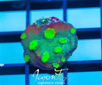 tyree fire echinopora reefscom