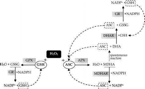 Enzymatic Cycle Diagram by The Ascorbate Glutathione Cycle Non Enzymatic Compounds