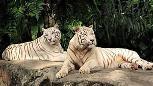 White Tiger Wallpaper 467249 - WallDevil