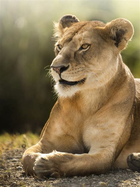 wallpaper lioness african lion wild  animals