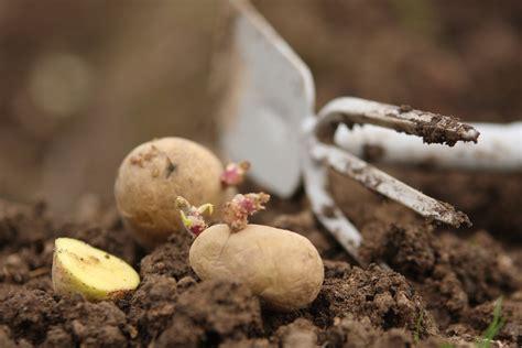 Pflanzen Im März by Kartoffeln Pflanzen Tipps Zum Anbau Der Erd 228 Pfel