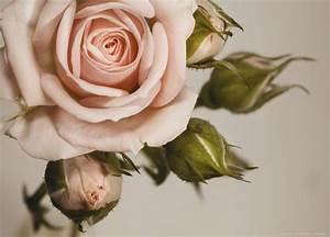 XXL Poster Fototapete Tapete Rose Blume Pflanze Foto 160 x