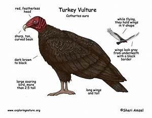 Vulture  Turkey