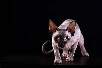 Sphynx Cat Cats Wallpapers Animals Desktop Courageous