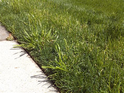 The Stubborn Grassy Weed With A Strange Name