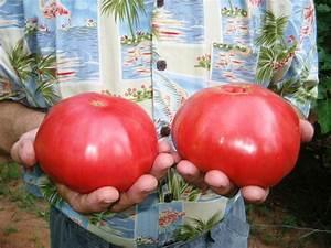 Paul's Giant Tomatoes
