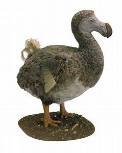 Dodos Might Have Been Quite Intelligent New Research