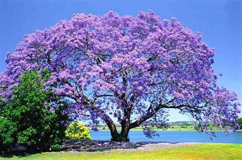 jacaranda tree jacaranda dandapani