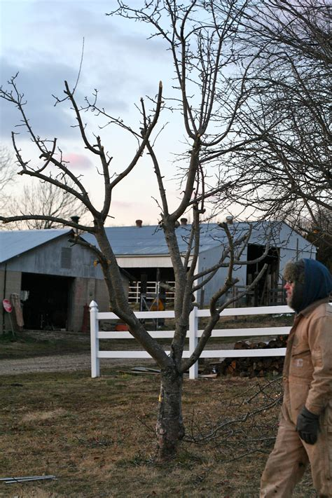 pruning apple trees in autumn pruning apple trees with nice guy ted such and such farm