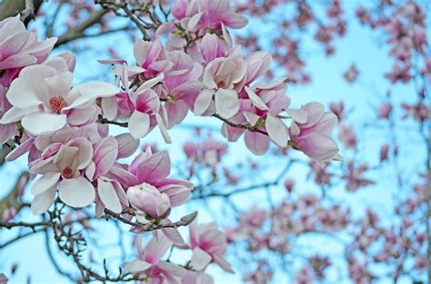 magnolia wallpapers high quality