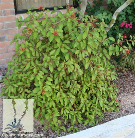 Plant Nursery Catalogs Free by Civano Nursery Gt Catalog Gt Plant Gt Dwarf Red Firecracker Bush