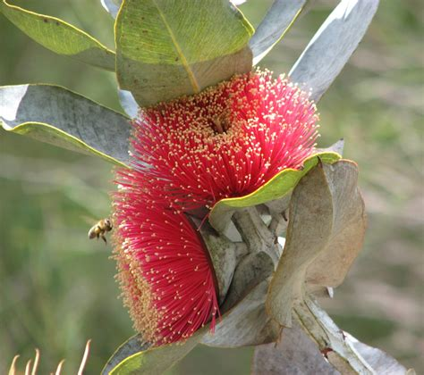 Eucalyptus Macrocarpa Wikipedia