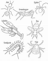 Arthropods Coloring Arthropod Worksheets Insect Insects Pages Arthropoda Parts Phylum Anatomy Biologycorner Key Centipede Bugs Characteristics Head Thorax Preschool Activity sketch template