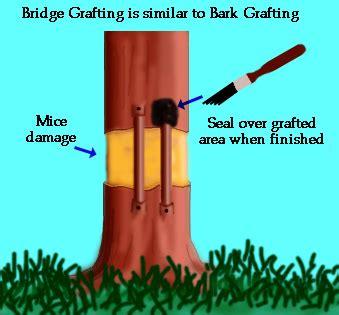bridge garden picture bridge grafting