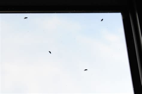 natureplus small black flies taking my flat